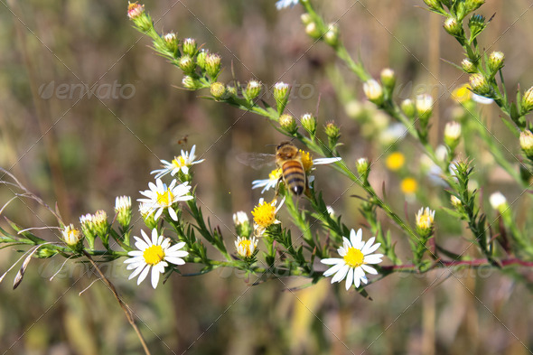 Honey Bee on Wildflower in Prairie Meadow - Stock Photo - Images