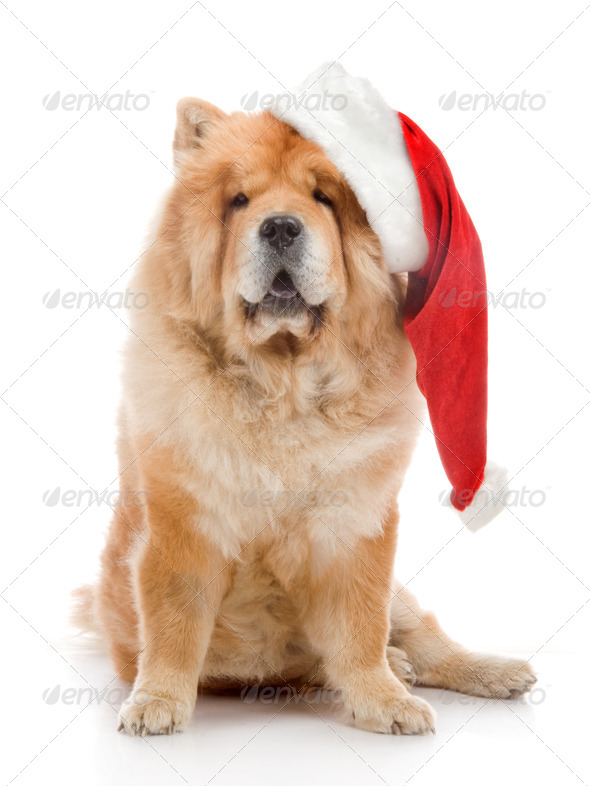 Chow-Chow In A Red Santa Claus Hat In Studio On White Background - Stock Photo - Images