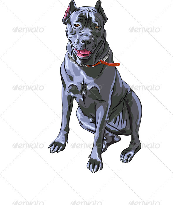Black Cane Corso smiling, Italian breed of dog  - Animals Characters