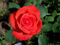 A red rose - PhotoDune Item for Sale