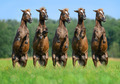 Five rear ponies on green field - PhotoDune Item for Sale