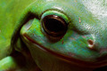 Tree frog eye - PhotoDune Item for Sale
