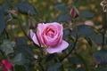 Wild Rose - PhotoDune Item for Sale
