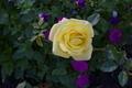 Yellow Rose 3 - PhotoDune Item for Sale
