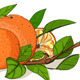 Fresh Oranges and Leaves Composition - GraphicRiver Item for Sale