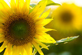 sunflower close up - PhotoDune Item for Sale