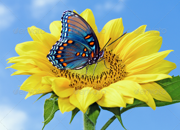 Sunflower with blue butterfly Stock Photo by majaFOTO ...