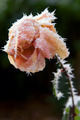 frosted rose - PhotoDune Item for Sale