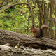 Squirrel on Tree - VideoHive Item for Sale