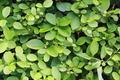 Luscious hedge - PhotoDune Item for Sale