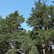 Moving Pine Trees In Coniferous Forest  - VideoHive Item for Sale