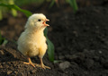 Angry little chicken shouting - PhotoDune Item for Sale