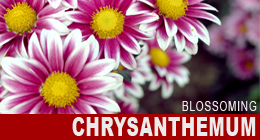 Blossoming Chrysanthemum