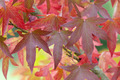 autumnal liquidambar leaves - PhotoDune Item for Sale