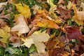Autumn Leaves 3 - PhotoDune Item for Sale