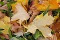 Autumn Leaves 4 - PhotoDune Item for Sale