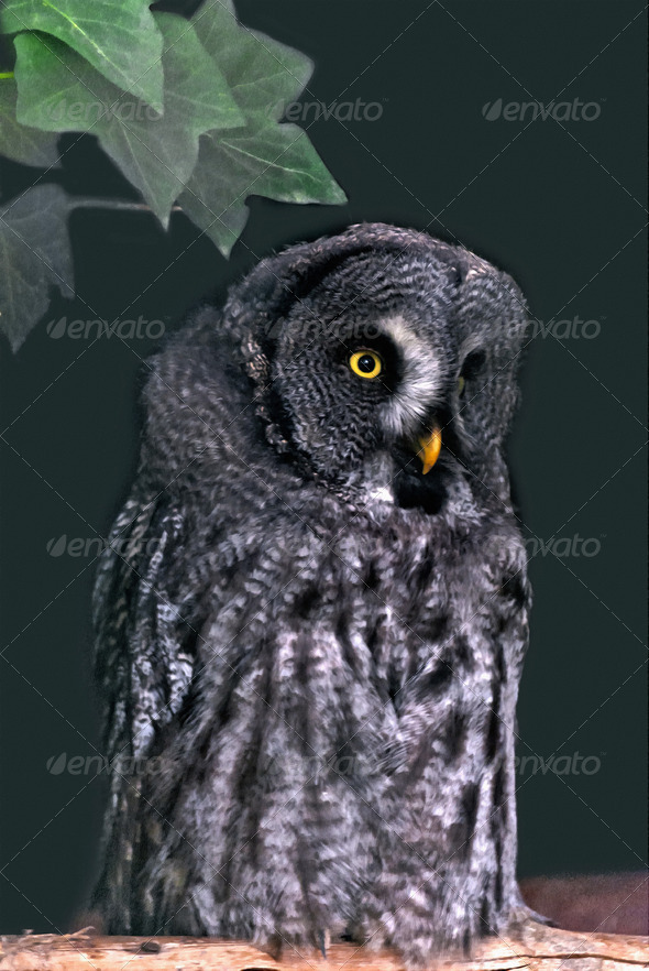 Great Grey Owl - Stock Photo - Images