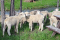 sheep two sisters - PhotoDune Item for Sale