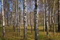 Birchwood - PhotoDune Item for Sale