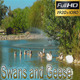 Swan and Goose | Nature HD - VideoHive Item for Sale