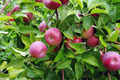 Apples ripening on the tree  - PhotoDune Item for Sale