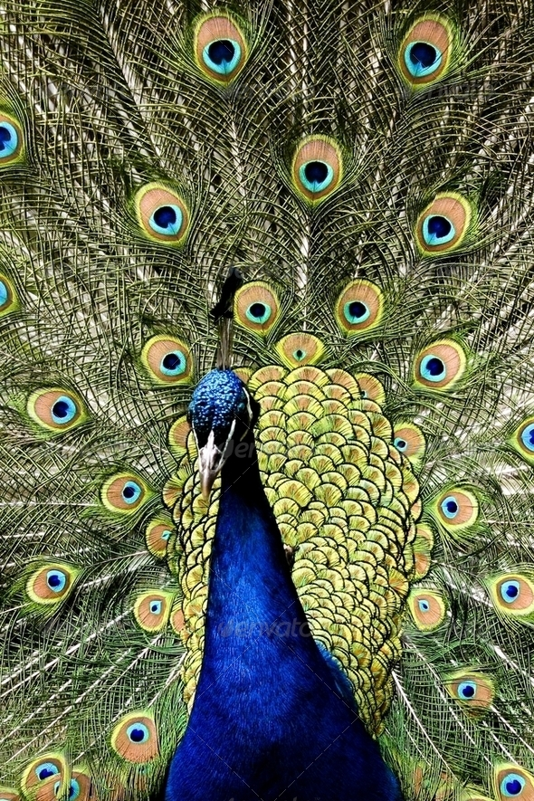 Paradise bird peacock - Stock Photo - Images