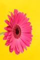 Gerbera on yellow - PhotoDune Item for Sale
