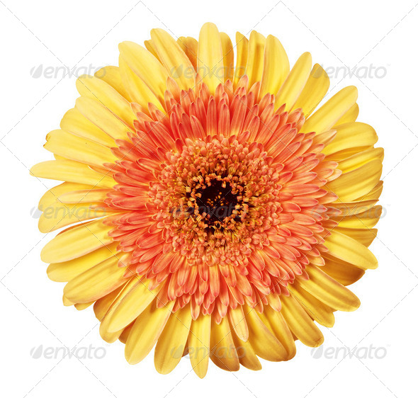 close up view of yellow daisy - Stock Photo - Images