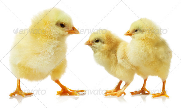chicken against white background - Stock Photo - Images