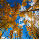Autumn Aspens - PhotoDune Item for Sale