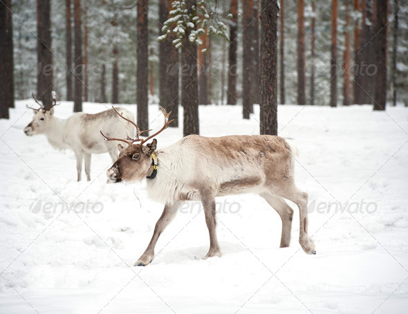 reindeer - Stock Photo - Images