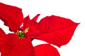poinsettia - PhotoDune Item for Sale