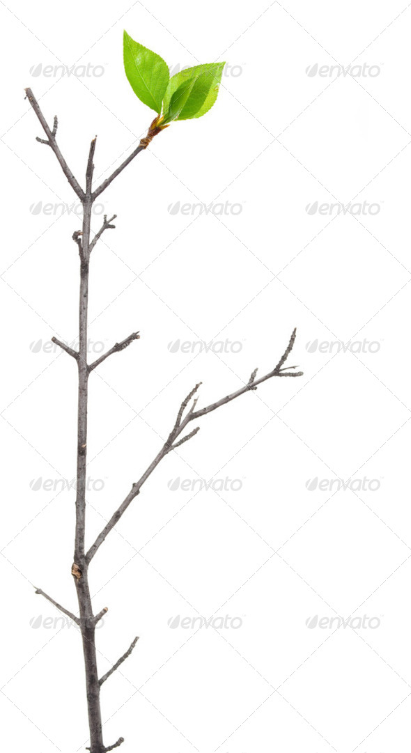 Dry branch with leaf buds - Stock Photo - Images
