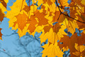 Autumn Background Orange Maple Leaves - PhotoDune Item for Sale