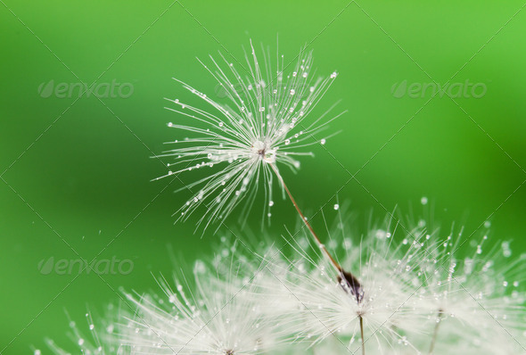 Close-up of Wet Dandelion seed with drops  - Stock Photo - Images