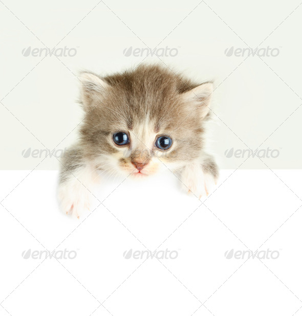 Kitten banner isolated on white - Stock Photo - Images