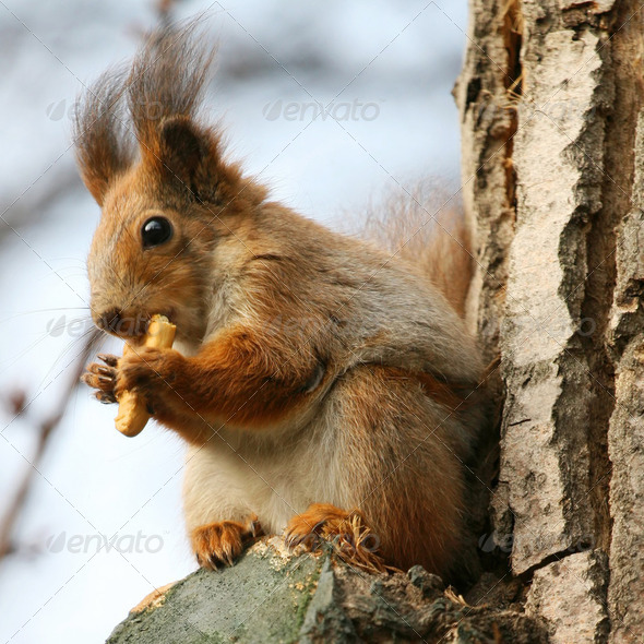 Brown squirrel eating cookie on a tree - Stock Photo - Images