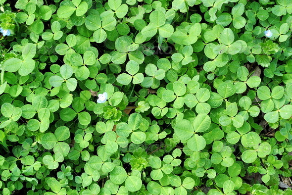 green clover backgrounds with small flowers - Stock Photo - Images