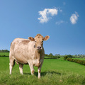 Cow - PhotoDune Item for Sale