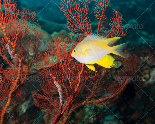 Golden damselfish - Stock Photo - Images