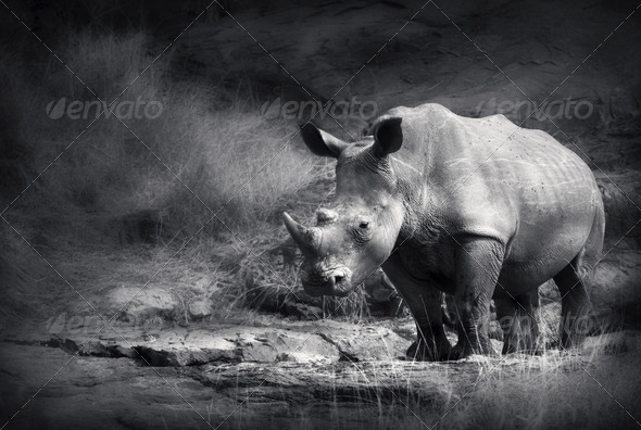 White Rhinoceros - Stock Photo - Images