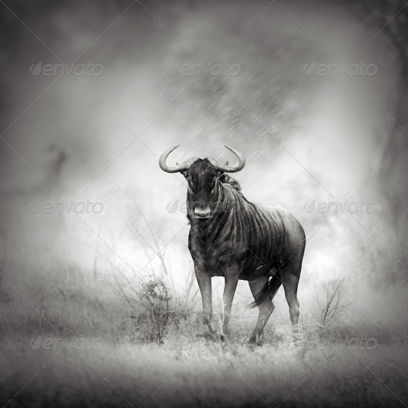 Blue Wildebeest in rainstorm - Stock Photo - Images