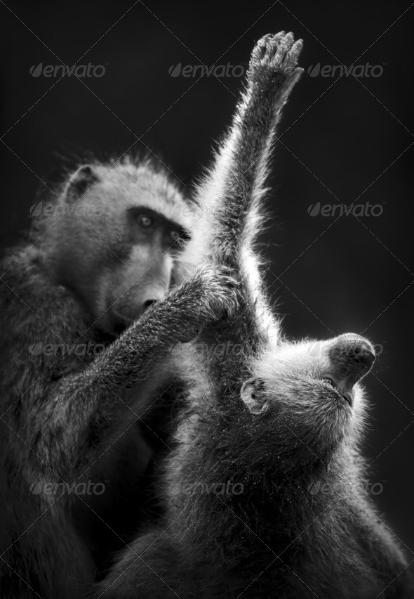 Chacma Baboons Grooming - Stock Photo - Images