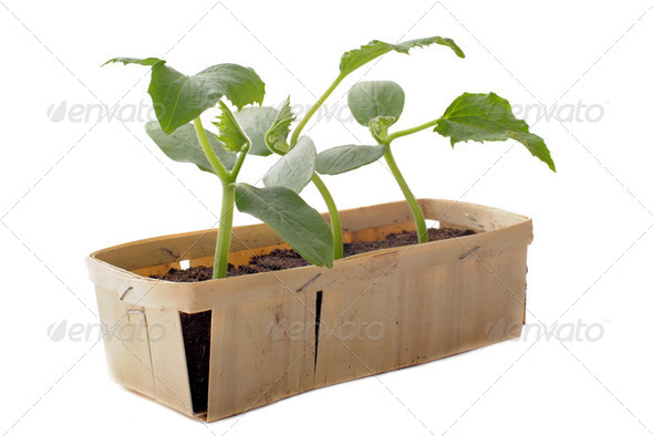 cucumber seedling - Stock Photo - Images