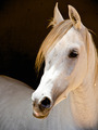 White Arabian Horse - PhotoDune Item for Sale