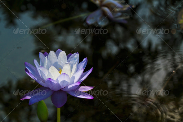 Beautiful purple water lilly or lotus on water - Stock Photo - Images