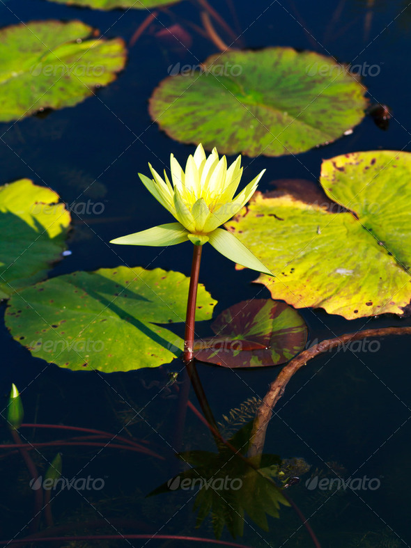 Water lilly or Lotus - Stock Photo - Images
