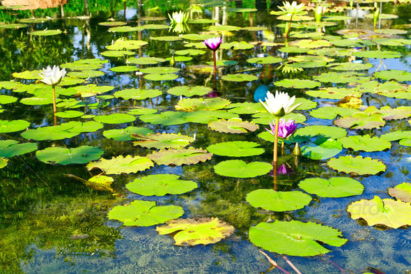 Water lily or lotus on water - Stock Photo - Images