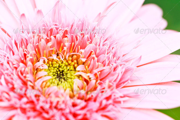 Pink gerbera flower - Stock Photo - Images