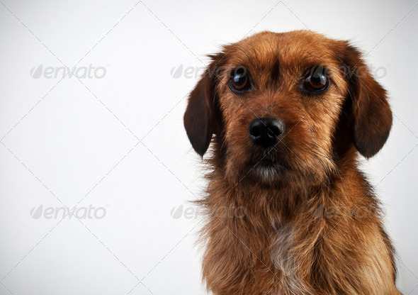 Brown dog on gray background - Stock Photo - Images